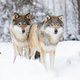 Two beautiful wolves in cold winter landscape - PhotoDune Item for Sale
