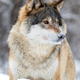 Close-up portrait of a magnificent and focused wolf in the cold winter - PhotoDune Item for Sale