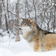 One beautiful wolf standing in the snow in beautiful winter forest - PhotoDune Item for Sale