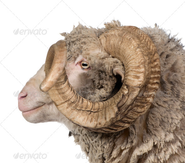 Side view of Arles Merino sheep, ram, 5 years old, in front of white background - Stock Photo - Images