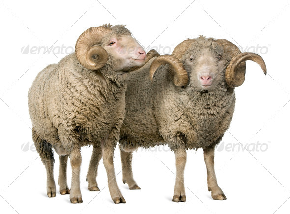 Two Arles Merino sheep, rams, standing in front of white background - Stock Photo - Images