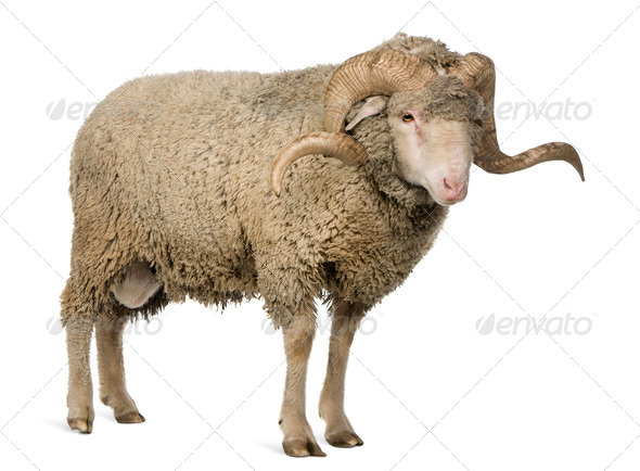 Arles Merino sheep, ram, 3 years old, standing in front of white background - Stock Photo - Images