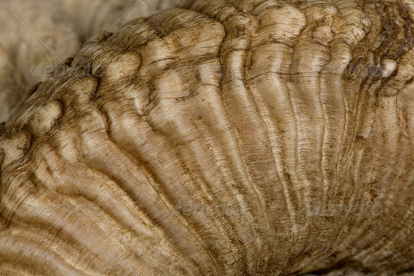 Close-up of Arles Merino sheep horn - Stock Photo - Images