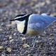 Egyptian plover (Pluvianus aegyptius) - PhotoDune Item for Sale
