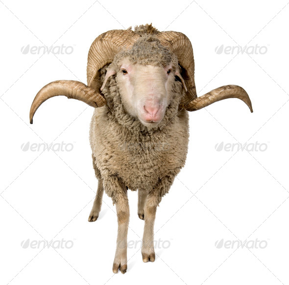 Arles Merino sheep, ram, 1 year old, standing in front of white background - Stock Photo - Images