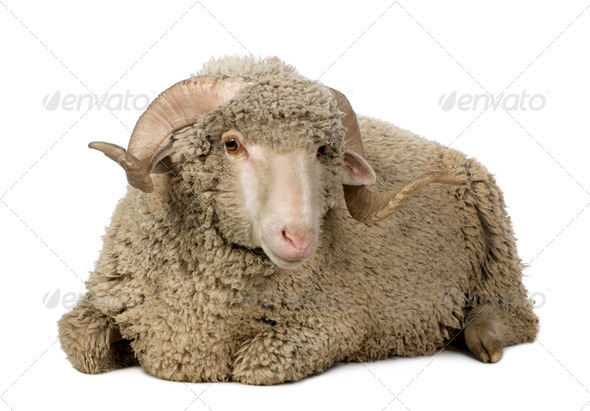 Arles Merino sheep, ram, 1 year old, sitting in front of white background - Stock Photo - Images