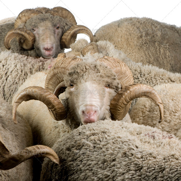 Herd of Arles Merino sheep, rams, in front of white background - Stock Photo - Images