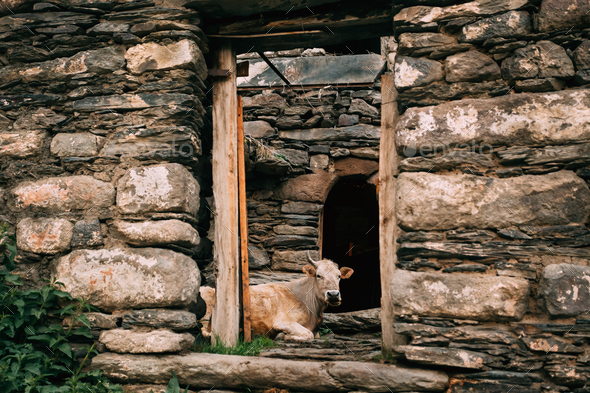 Georgia. Cow Lying In Shed In Georgian Village - Stock Photo - Images