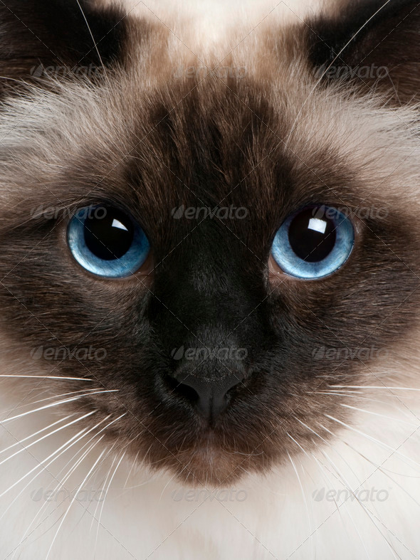close up of a Birman (2 years old) - Stock Photo - Images