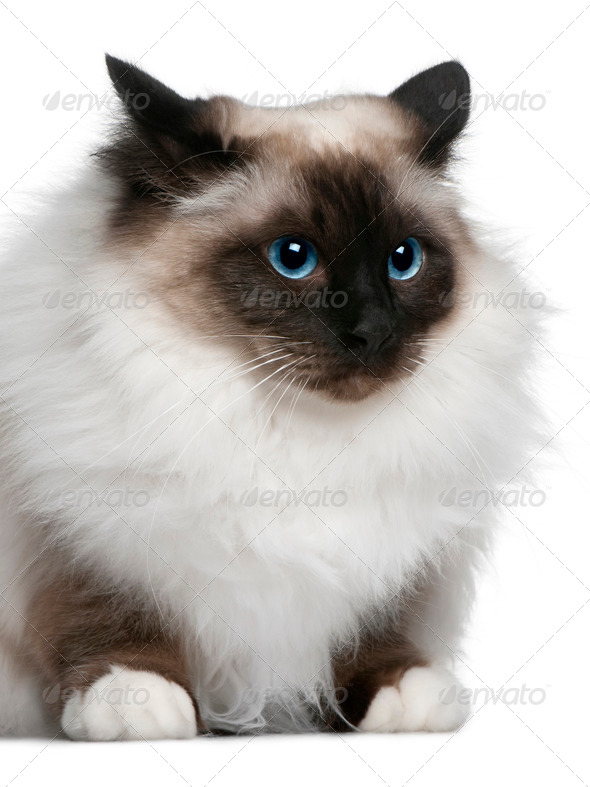 Birman (2 years old) - Stock Photo - Images