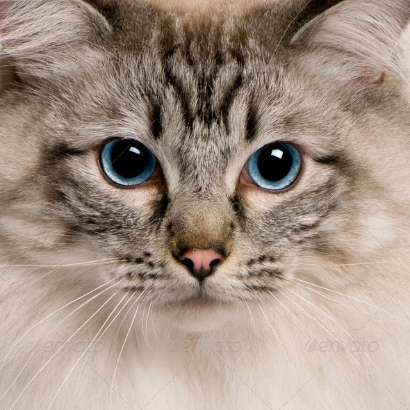 close up of a Ragdoll (2 years old) - Stock Photo - Images