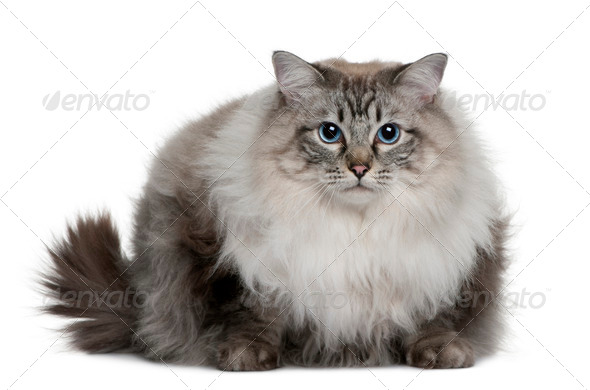 Ragdoll (2 years old) - Stock Photo - Images