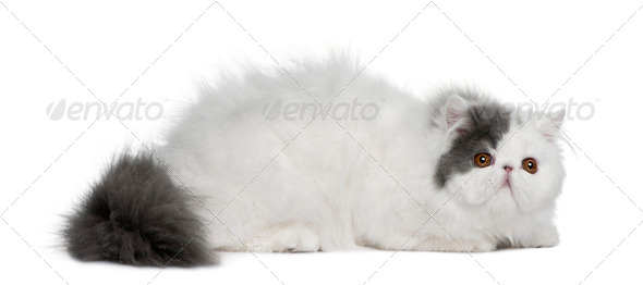 Persian (4 monhs old) - Stock Photo - Images