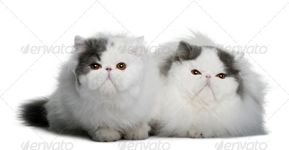 two Persians (4 monhs old) - Stock Photo - Images