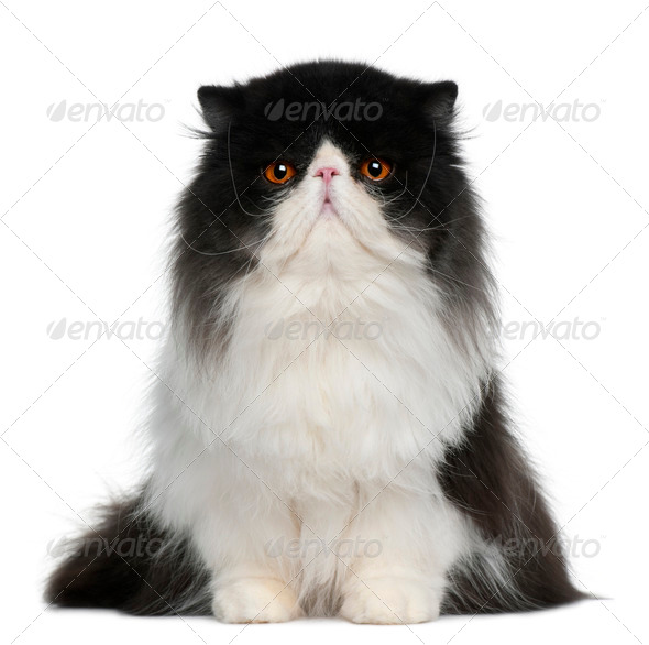 Persian (10 monhs old) - Stock Photo - Images