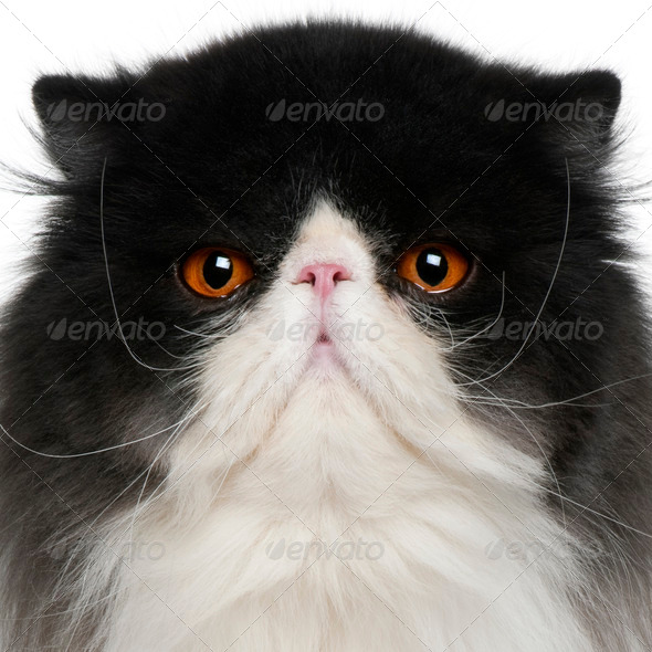 close up of a Persian (10 monhs old) - Stock Photo - Images