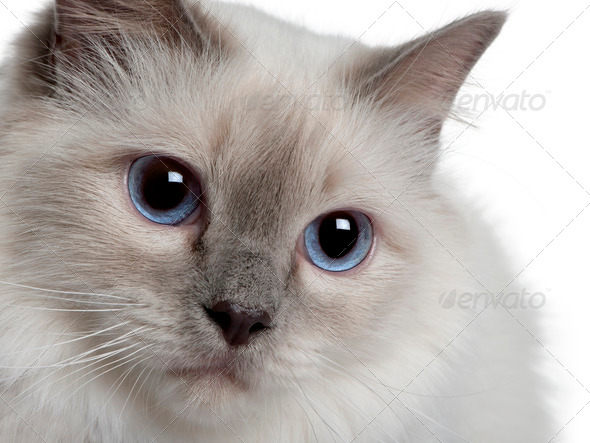 close up of a Birman - Stock Photo - Images