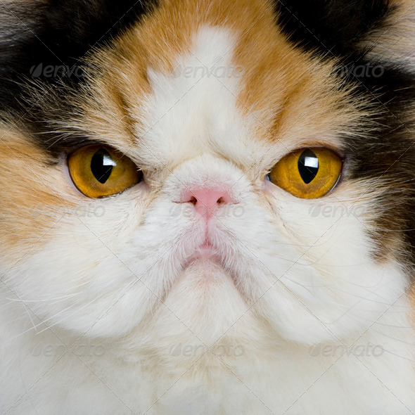 close up of a Persian (1 year old) - Stock Photo - Images
