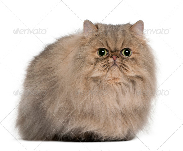Persian (2 years old) - Stock Photo - Images