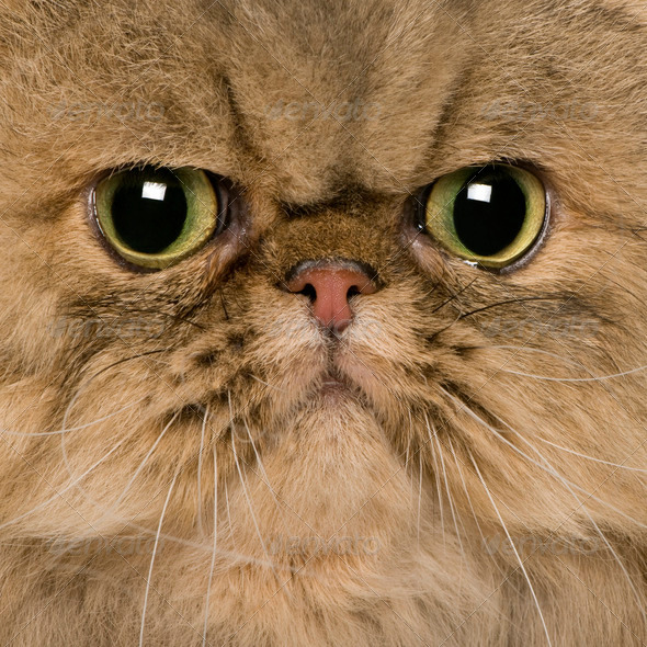 close up of a Persian (2 years old) - Stock Photo - Images
