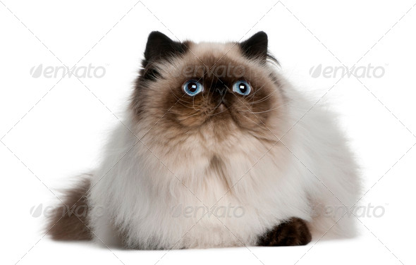 Persian (8 monhs old) - Stock Photo - Images