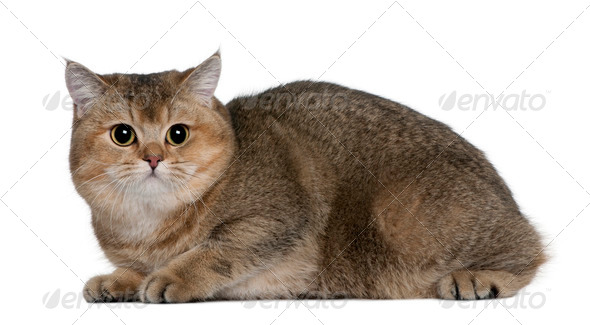 British Shorthair (10 months old) - Stock Photo - Images