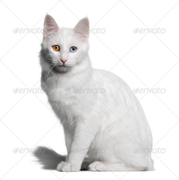 Turkish Angora (18 months old) - Stock Photo - Images