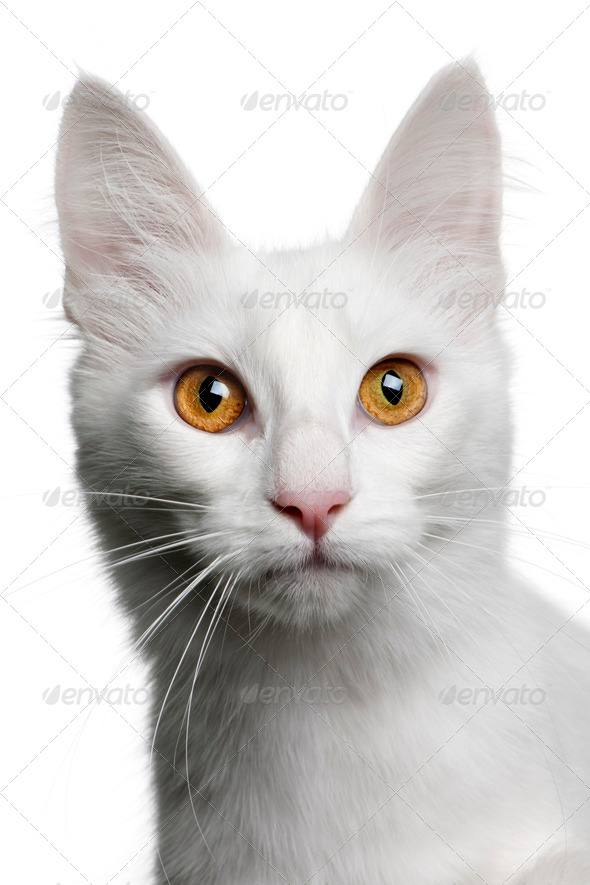 close up of a Turkish Angora (18 months old) - Stock Photo - Images