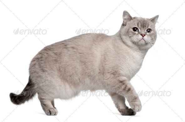 British Shorthair (15 months old) - Stock Photo - Images