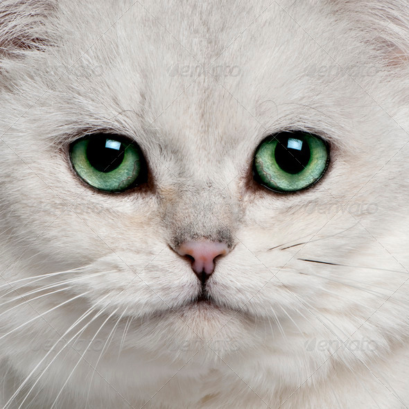 British Shorthair (5 years old) - Stock Photo - Images