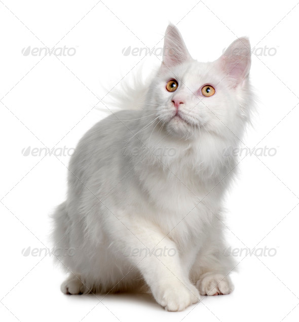 White maine coon (7 months old) - Stock Photo - Images