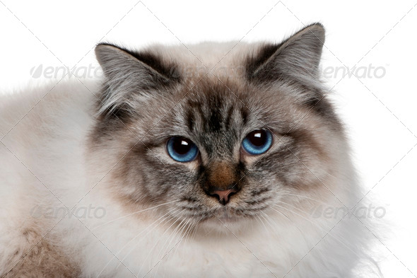close up of a Birman (8 months old) - Stock Photo - Images