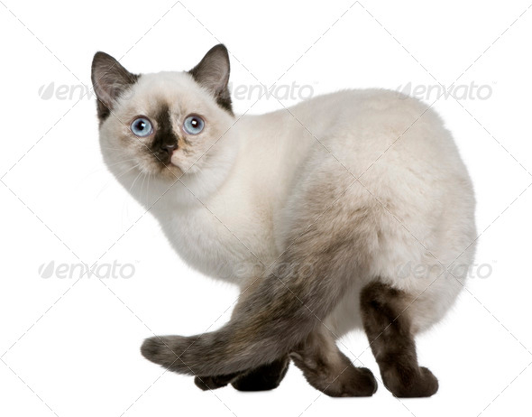 British Shorthair kitten (4 months old) - Stock Photo - Images