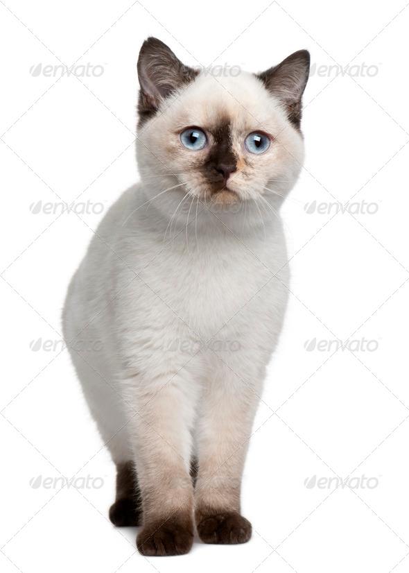 British Shorthair kitten (4 months old) - Stock Photo - Images