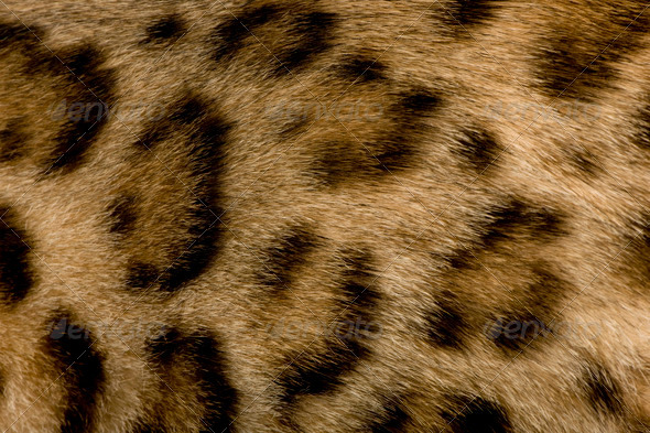 close up on Fur of a Bengal - Stock Photo - Images