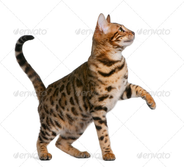 Bengal kitten (7 months) - Stock Photo - Images