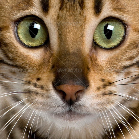 close up of a Bengal kitten (7 months) - Stock Photo - Images