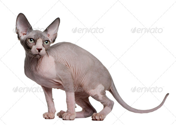 Sphynx kitten (4 months old) - Stock Photo - Images
