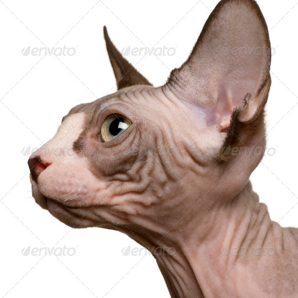close up of a Sphynx kitten (4 months old) - Stock Photo - Images