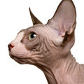 close up of a Sphynx kitten (4 months old)