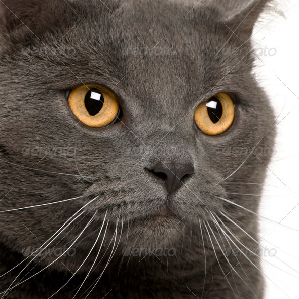 close up of a Chartreux (3 years old) - Stock Photo - Images