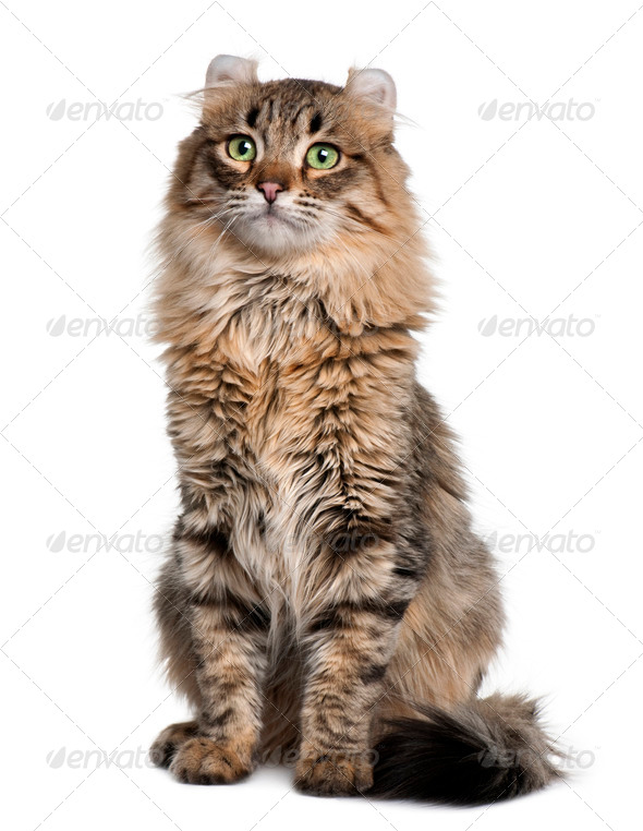 American Curl (8 months old) - Stock Photo - Images