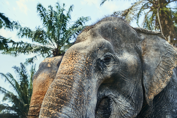 Two large Asian elephants standing in an animal reserve - Stock Photo - Images