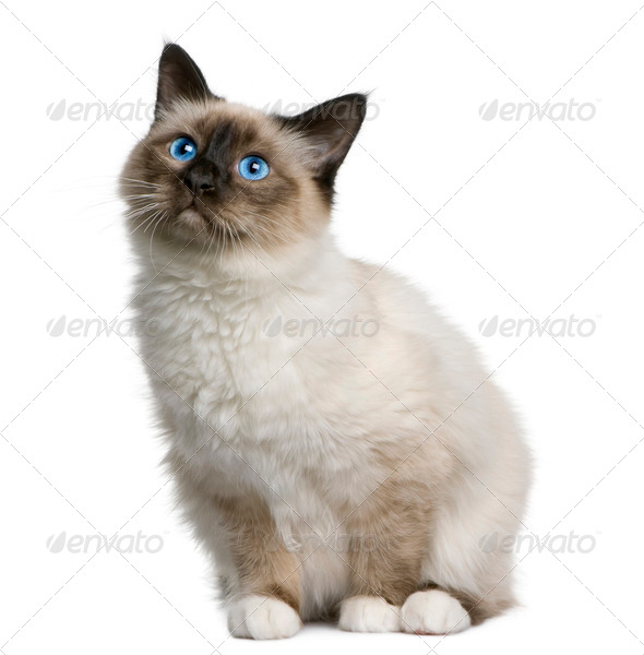 Birman (6 months old) - Stock Photo - Images