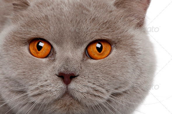 close up of a british shorthair (4 years old) - Stock Photo - Images