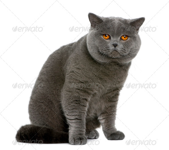 british shorthair (2 years old) - Stock Photo - Images