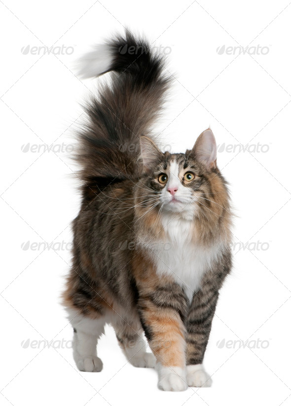 Norwegian Forest Cat (8 months old) - Stock Photo - Images