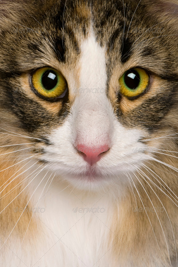 close up of a Norwegian Forest Cat (8 months old) - Stock Photo - Images