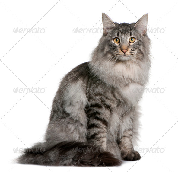 Siberian  (8 months old) - Stock Photo - Images