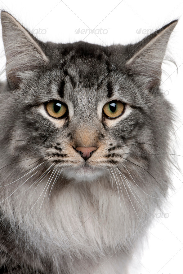 close up of a Siberian  (8 months old) - Stock Photo - Images